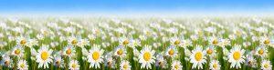 скинали полевые луговые цветы